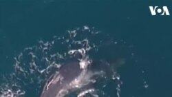Giải cứu cá voi con ở Australia