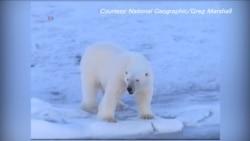 海冰融化将北极熊驱向灭绝