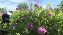 Dans une vallée marocaine, la rose comme moteur de développement