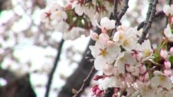 Cherry Blossoms Signal Spring, Hope in DC