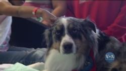 В американських лікарнях заводять терапевтичних собак, які допомагають хворим у процесі лікування та реабілітації. Відео