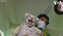 Ra mắt hổ trắng Bengal ở sở thú Áo