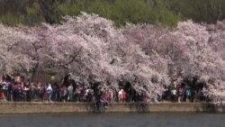 گردشگران، مبهوت هزاران درخت گیلاس به گل نشسته در واشنگتن دی سی