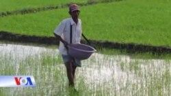 Vựa lúa sông Mekong bị đe dọa vì biến đổi khí hậu và đập thủy điện