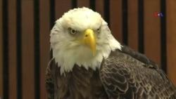 Azadlıq və İstiqlal - Amerikanın milli simvolu olan quşlara ad seçildi