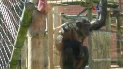 Computadoras ayudan chimpancés