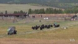 Tibetan Beasts of Burden Lighten Financial Load on US Ranches