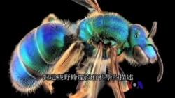 美国专讯:1)皇后区博物馆:从宏观到微观的视觉体验 2)美国科学家研究用野蜂拯救农作物