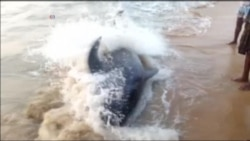 50 Pilot Whales Stranded on Indian Beach