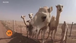سعودی عرب میں اونٹوں کا اسپتال