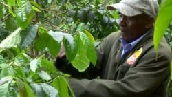 New Challenges Force Kenya Farmers to Replace Coffee Crop