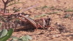 Mathematical Model May Help Control Locusts