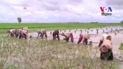 Pilot Project Using Software to Boost Rice Production Is Underway in Cambodia