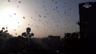 Հնդկաստանում մորեխներն արդեն ոչնչացրել են 50 հազար հեկտար ձգվող հողատարածքի բերքը