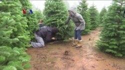 Kelangkaan Pohon Cemara Jelang Natal