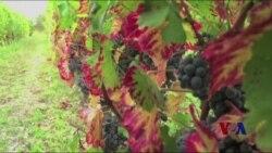 气候变化影响法国葡萄酒产业