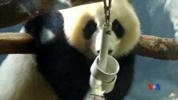 2016-11-04 美國之音視頻新聞: 美國出生的大熊貓雙胞胎被送回中國