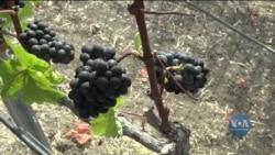 У відомих каліфорнійських виноробних регіонів - долини Напа та Сономи - з'явився конкурент – півострів Палос-Вердес. Відео