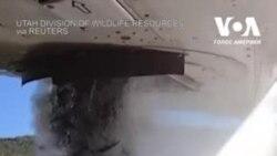 У штаті Юта з літака в озеро скидають тисячі рибин. Відео