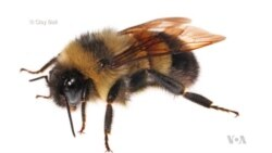 US Bumblebee Lands on Endangered Species List