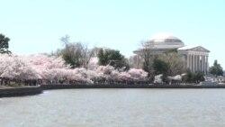 Цветањето на црешите главна атракција во Вашингтон