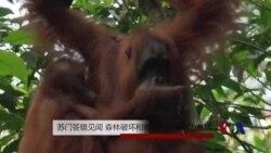 苏门答腊见闻:森林破坏和偷猎使猩猩沦为难民