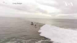 У Каліфорнії засняли, як дельфіни пливуть поруч із серфінгістом. Відео