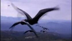 Zašto neka jata ptica lete u V formaciji?