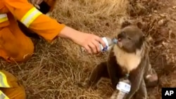 FIEL - In this image made from video taken on Dec. 22, 2019, and provided by Oakbank Balhannah CFS, a koala drinks water from a bottle given by a firefighter in Cudlee Creek, South Australia. Thousands of koalas are feared to have died in a wildfire…