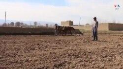 دهاقین سرپل از کشت نباتات حلال بجای تریاک خبر میدهند