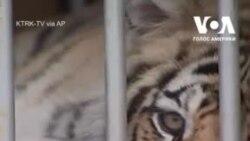 У Техасі поліція знайшла тигра, якого шукали кілька тижнів. Відео
