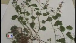 Lule e re në florën shqiptare