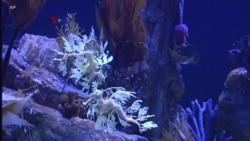 Pelestarian Naga Laut di tengah Perburuan Ilegal untuk Obat Tradisional