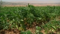 Syrian War Aids Lucrative Cannabis Farming In Lebanon