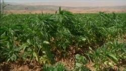 Syrian War Aids Lucrative Cannabis Farming In Lebanon