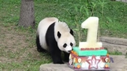 国家动物园为熊猫贝贝庆贺首个生日