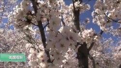 VOA连线(莫雨):华盛顿即将迎来樱花季