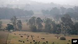 Ternak dibiarkan merumput saat kabut asap dan hujan menyirami ladang yang terbakar dekat Milton, Australia, 5 Januari 2020.