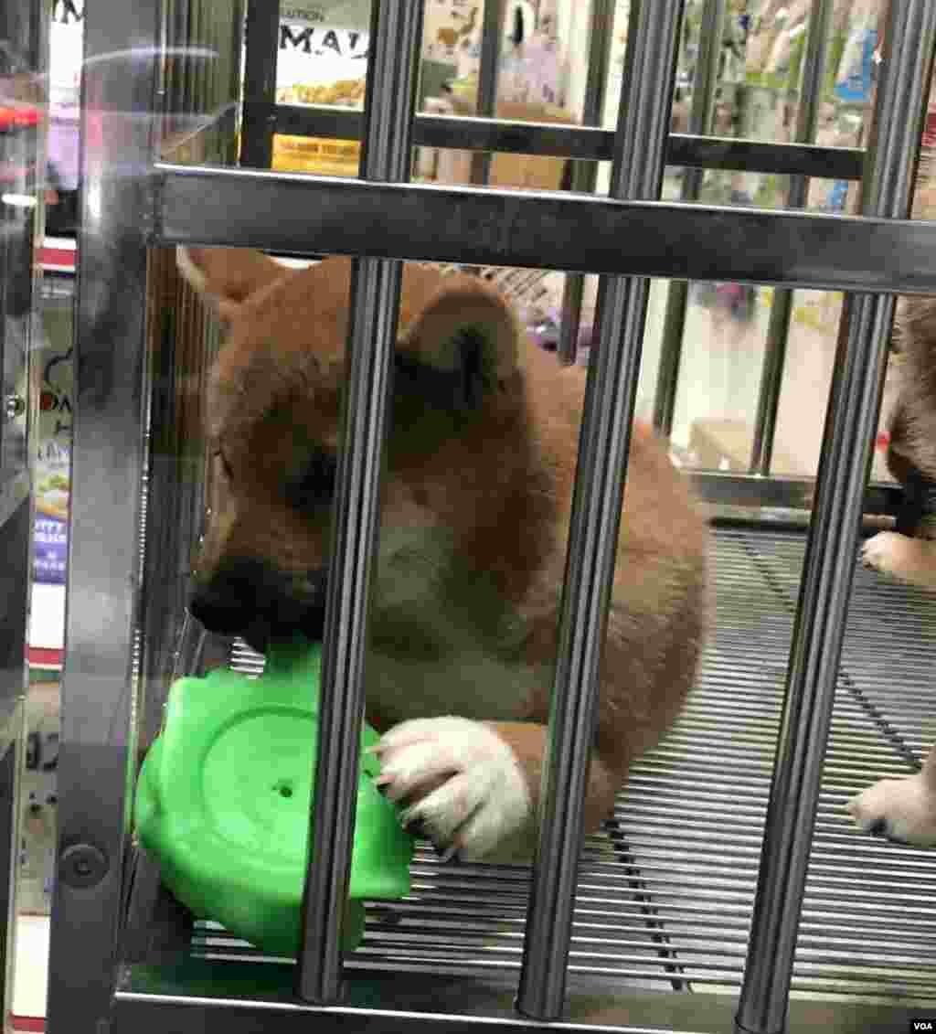 A Shiba Inu puppy is seen in a pet store window in Taipei, Taiwan, Dec. 2, 2019. (Ralph Jennings/VOA)