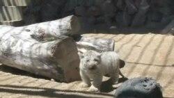 Nacen cuatro cachorros de tigre blanco