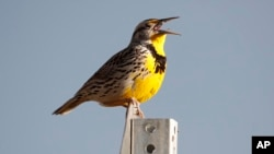 Hearing different types of birdsong may make you happier. Here, a western meadowlark sings in the Rocky Mountain Arsenal National Wildlife Refuge in Commerce City, Colorado, April 14, 2019. (AP file photo)