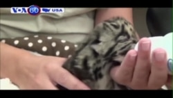 Vườn thú ở Florida sở hữu một con báo gấm hiếm có (VOA60)