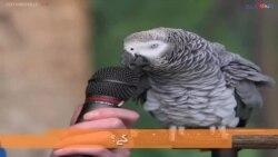 آئن اسٹائن، مختلف آوازیں نکالنے والا طوطا