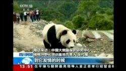 Veliki panda u iznenadnoj posjeti kineskom selu