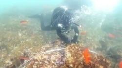 科学家努力恢复消失中的海藻林