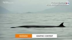 TECNOLOGÍA: Ballenas varadas auxiliadas desde el espacio