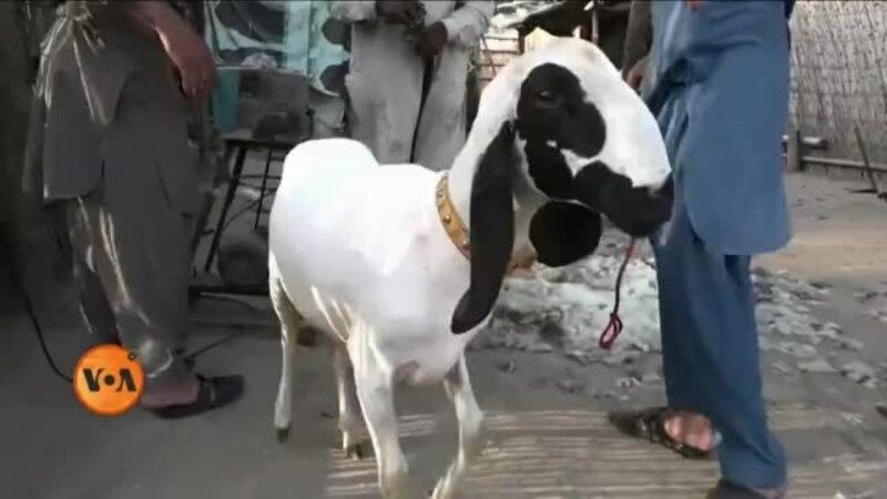 وی او اے اردو - لاہور میں جانوروں کے ہیئر سیلون thumbnail