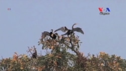 Tourists Marvel at Rare And Endangered Birds On Tonle Sap Lake 