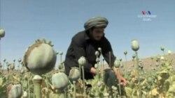 Ափիոնի առատ բերք Աֆղանստանում