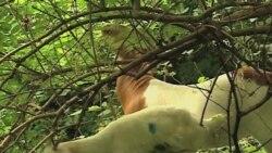 Ekološke koze oko američkog kongresa-novi način zaštite okoline